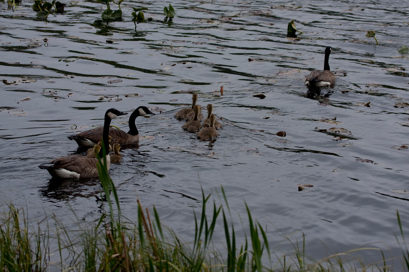 Canadian geese family swimming together.