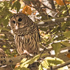 A digital art photograph of a barred owl (Strix varia) pearched on a tree limb.