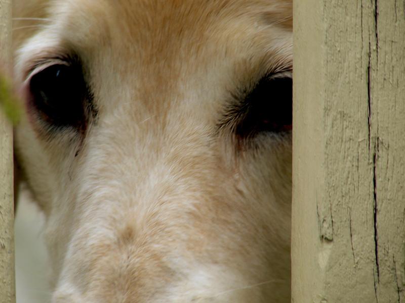 A horizontal stock photo of a golden retriever eyes up close.