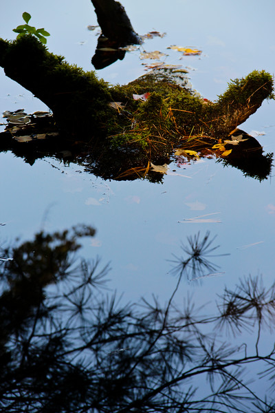 A vertical stock photograph of a moss covered stump in the water with fall leaves. Pine needle reflection in foreground.