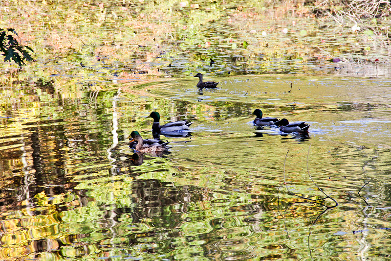 A horizontal stock photograph of a flock of mallard ducks sitting in a leaf covered pond