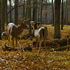 a horizontal stock photograph of two of whitetailed deer. One buck and one doe..