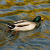 Male Mallard duck.
