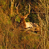 Large Bull Pa. Elk laying down