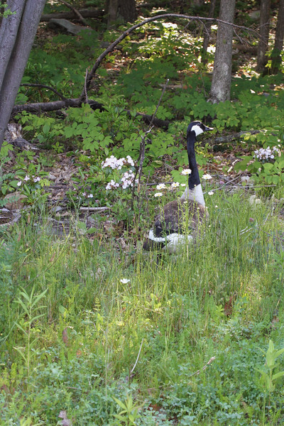 A vertical stock photo of of a single canadian goose standing guard in a patch of wild flowers containing,daisies and mountain laurel.