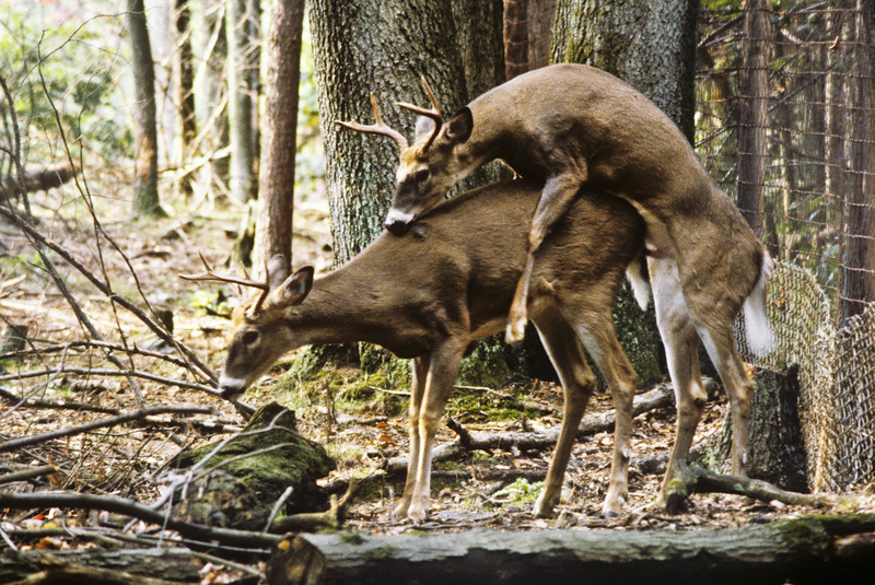 A horizontal stock photograph of two white-tail bucks. One buck is mounting the other buck in an abnormal behavior.