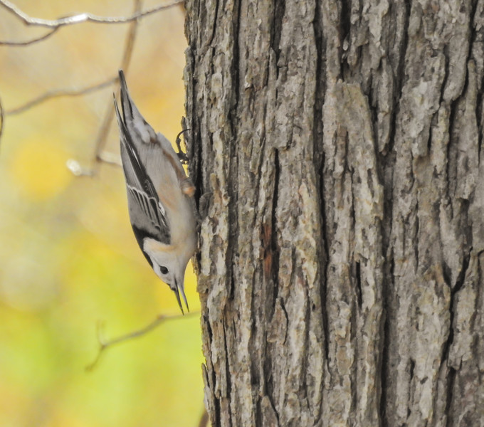 A white breasted nuthatch going down the side of a tree head first.This behavior is common with this bird.