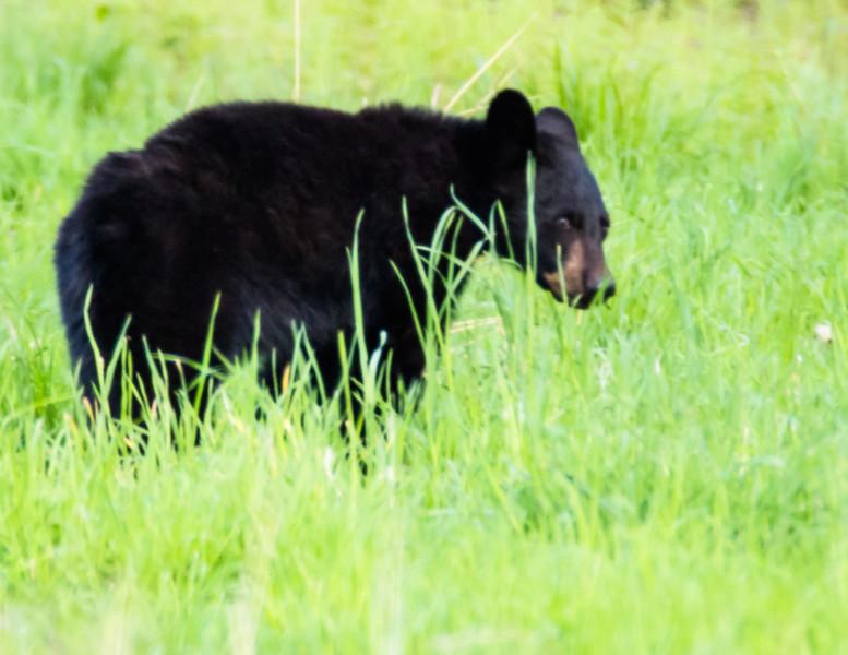 A young Pennsylvania Black Bear.