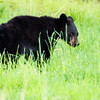 A young Pennsylvania Black Bear.