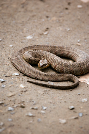 A vertical stock photograph of a northern copperhead snake close up in striking position.
