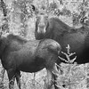 Moose,mother and calf