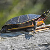 Chrysemys picta, Painted Turtle