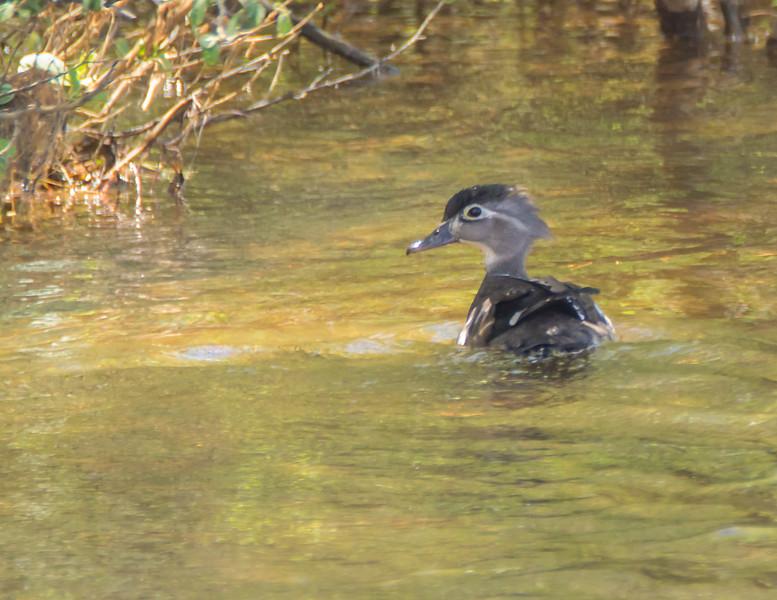 A female Wood duck swimming alone.