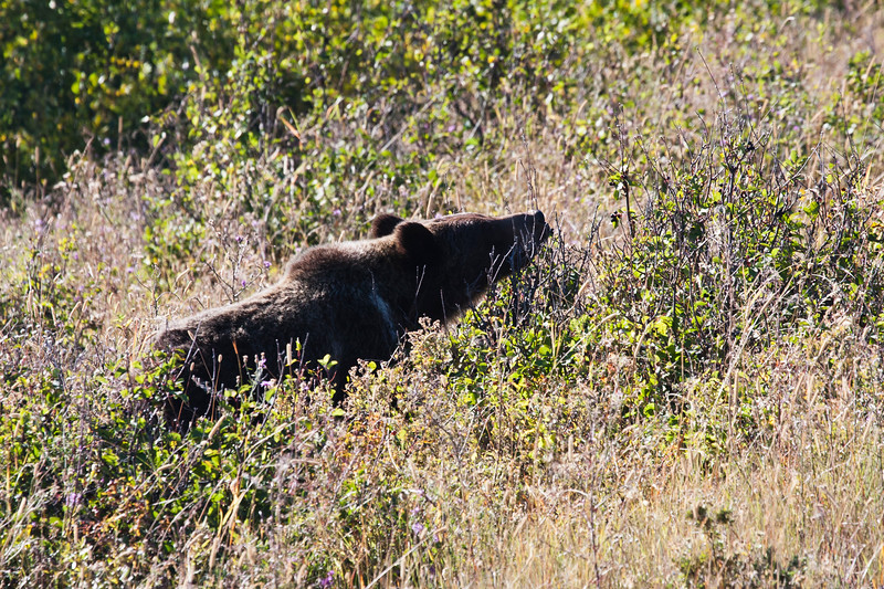A horizontal stock photograph of a young Grizzly Bear feeding on huckleberries in the Many Glacier area of Glacier Nat. Park.