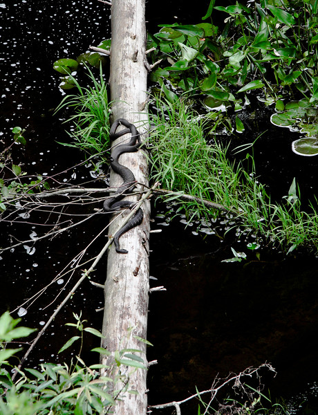 A vertical stock photograph of three northern water snakes basking on a log.