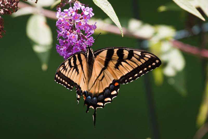 A horizontal stock photograph of an eastern tiger swallowtail butterfly feeding on a purple butterfly flower.