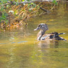 A female Wood duck swimming alone.