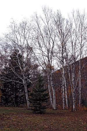 A vertical stock photo of a stand of White Birch trees with small pine in foreground.