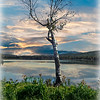 A lone birch tree on a lake.