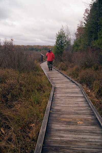 A vertical stock photograph of a man in a red parka walking on the boardwalk of the Bog trail in Black Moshannon State Park Pennsylvania.