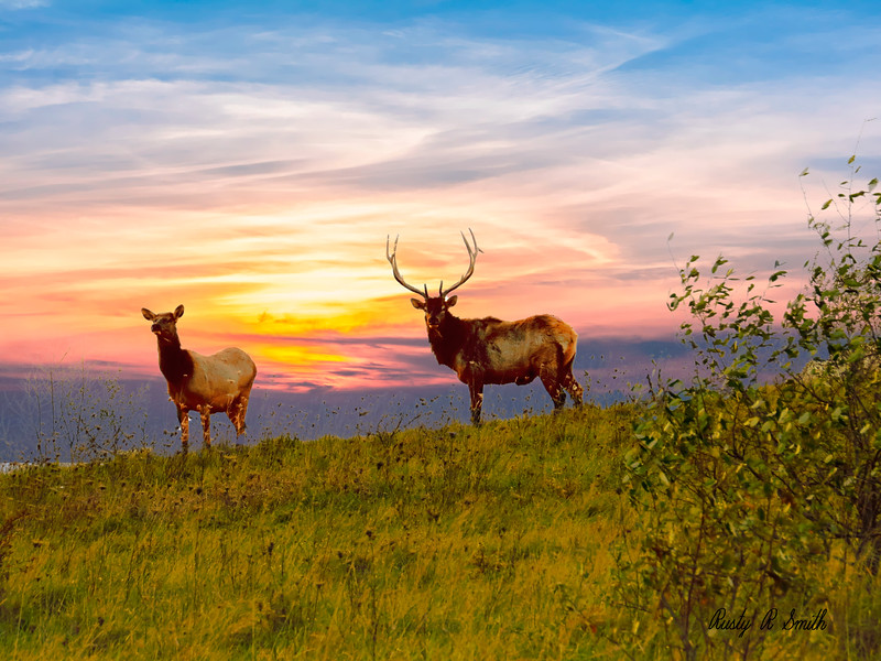 A cow and bull elk standing on top of a ridge.