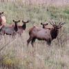 Pa. Elk Herd