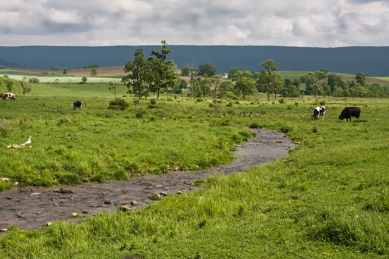 A horizontal stock photograph of an Amish Farm in central Pennsylvania, showing a pasture with a small stream running through it. In the field there are wild canadian geese,cows, and a white duck family. Dark storm clouds forming in th background.