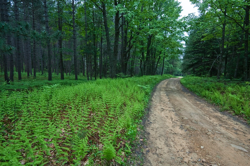 A horizontal stock photograph of  of a pine forest with lush green ferns in the foreground. A dirt road winds into the forest.