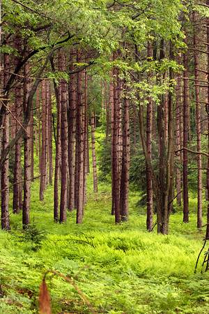 A Vertical Stock Photograph of a Red Pine forest showing dark wet trunks from a recent rain storm.The forest floor is covered with lush green ferns.