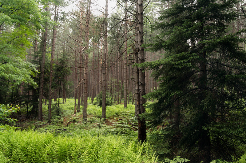 A horizontal Stock Photograph of a Red Pine forest showing the lush green ferns growing in the forest.