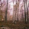 Marion E. Brooke natural area; pa; white birch; trees; fall; autumn; scenic view; vertical stock photo; rustysmithphoto; pennsylvania