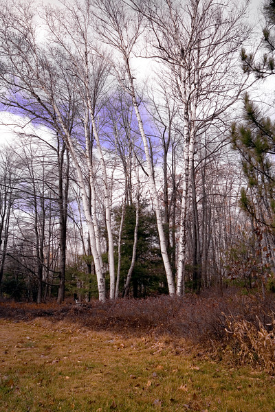 A vertical stock photograph of beautiful white birch trees i Marion E. Brooke Natural area Pennsylvania.
