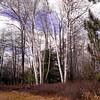 A vertical stock photograph of beautiful white birch trees i Marion E. Brooke Natural area Pennsylvania.