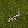 A white goose family with mother and eight ducklings walking in lush green grass.
