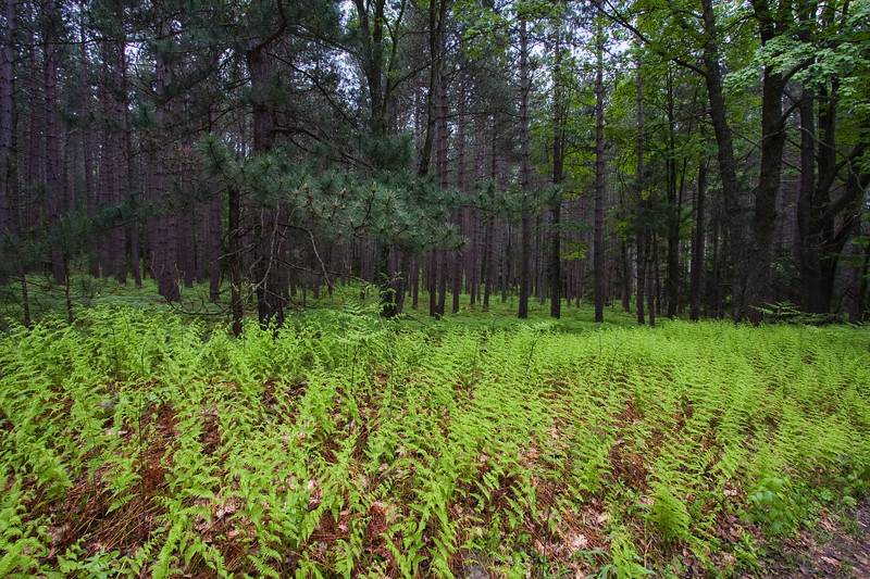 Pine Forest with lush green ferns
