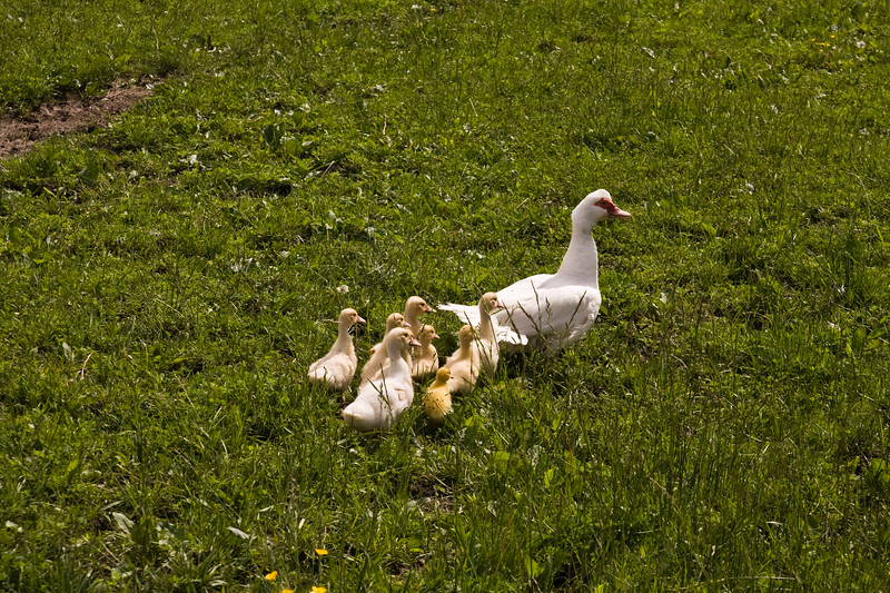 A horizontal stock photograph of a mother white duck and eight ducklings in a green grass field.