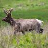 Pa. Bull Elk in Velvet