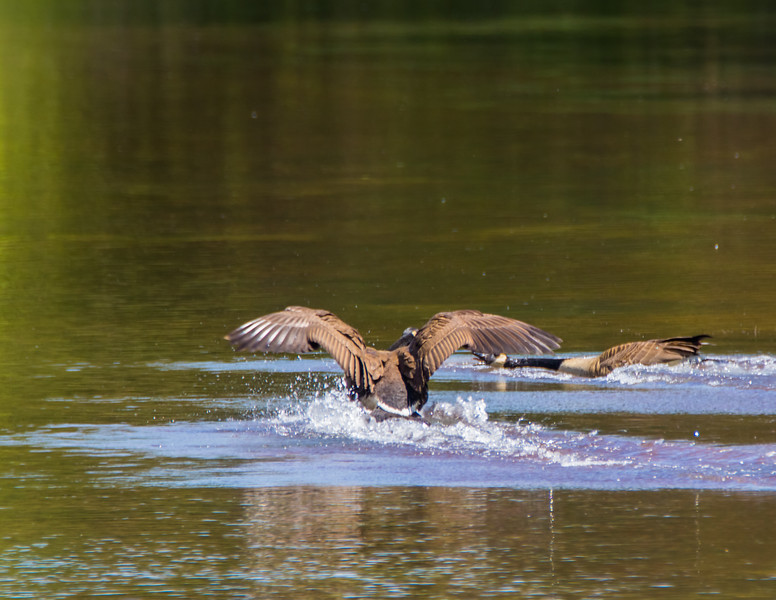 Two Canadian Geese landing on the water with a splash.
