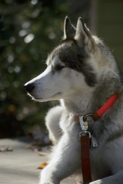 Head shot of a Siberian Husky showing strong backlighting