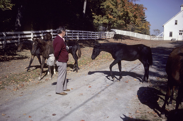 A stock photograph of a  Middlle aged man standing with group of Morgan horse foals,Morgan Horse Farms,Middlebury Vermont.