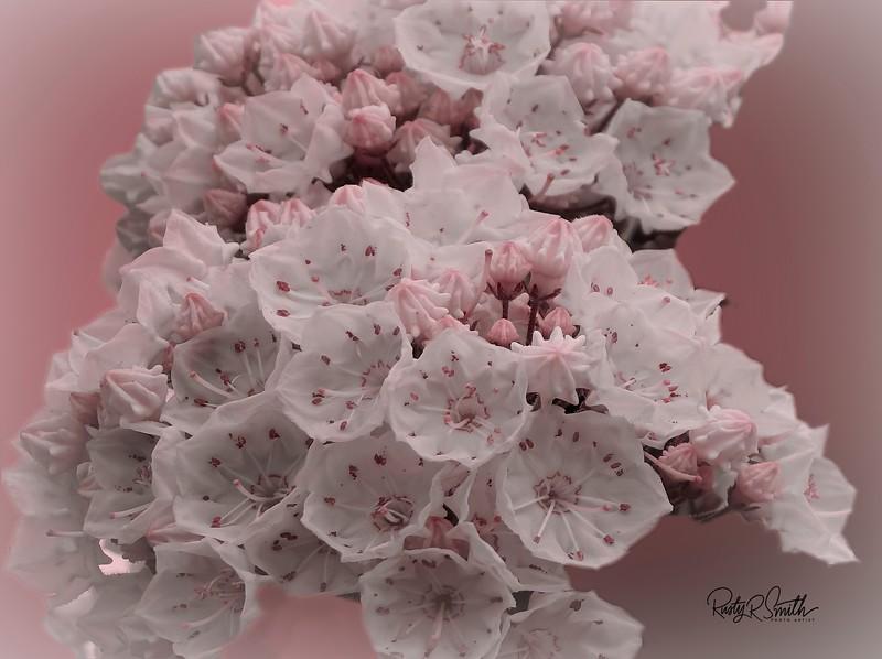 Soft art photograph of mountain laurel.