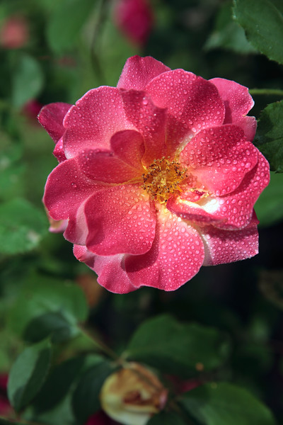 A Vertical Stock Photograph of a single red rose with a natural background.