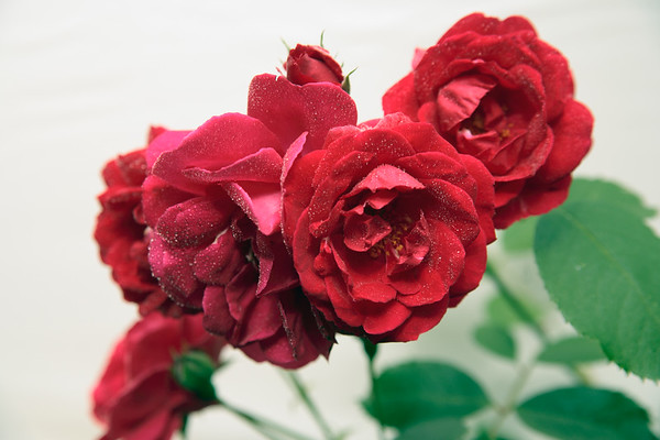 A horizontal Stock Photograph of a group of red roses against a plain background.