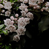 A horizontal stock photograph of a group of Mountain Laurel Blossoms showing completely open blossums and new blossoms not yet open.