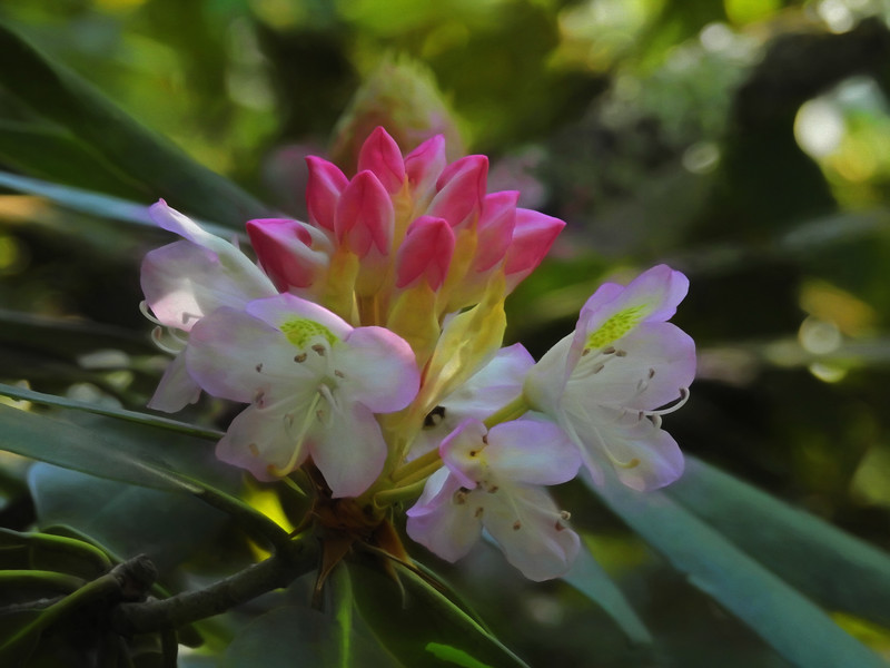A beautiful bloom of a native Rhododendron.