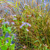 A group of grass stems and purple aster in the water. Fine art photo.