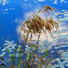 Art photo showing grass stems and lilly pads in multi toned blue water