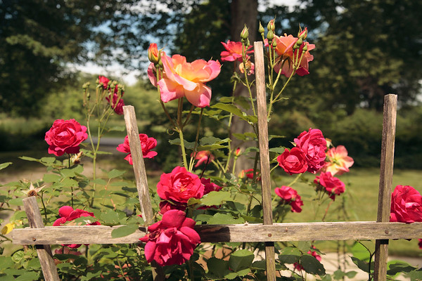 A horizontal Stock Photograph of a group of roses in a garden setting.