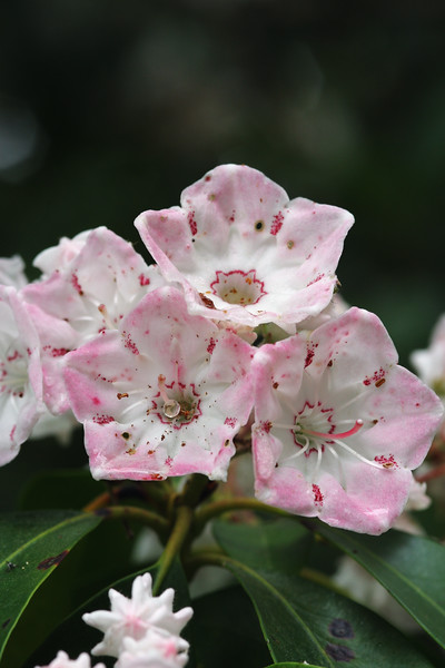 A vertical stock photo of closeup view of Mountain laurel flowers. Showing both mature and unopened blossoms