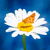 A Moth collecting pollen from a daisy.
